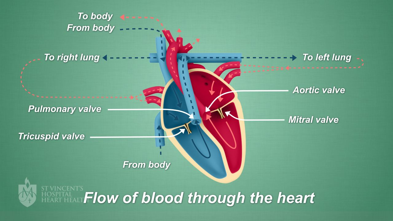Heart Valve Diagram | Heart Valve Disease St Vincent S Heart Health
